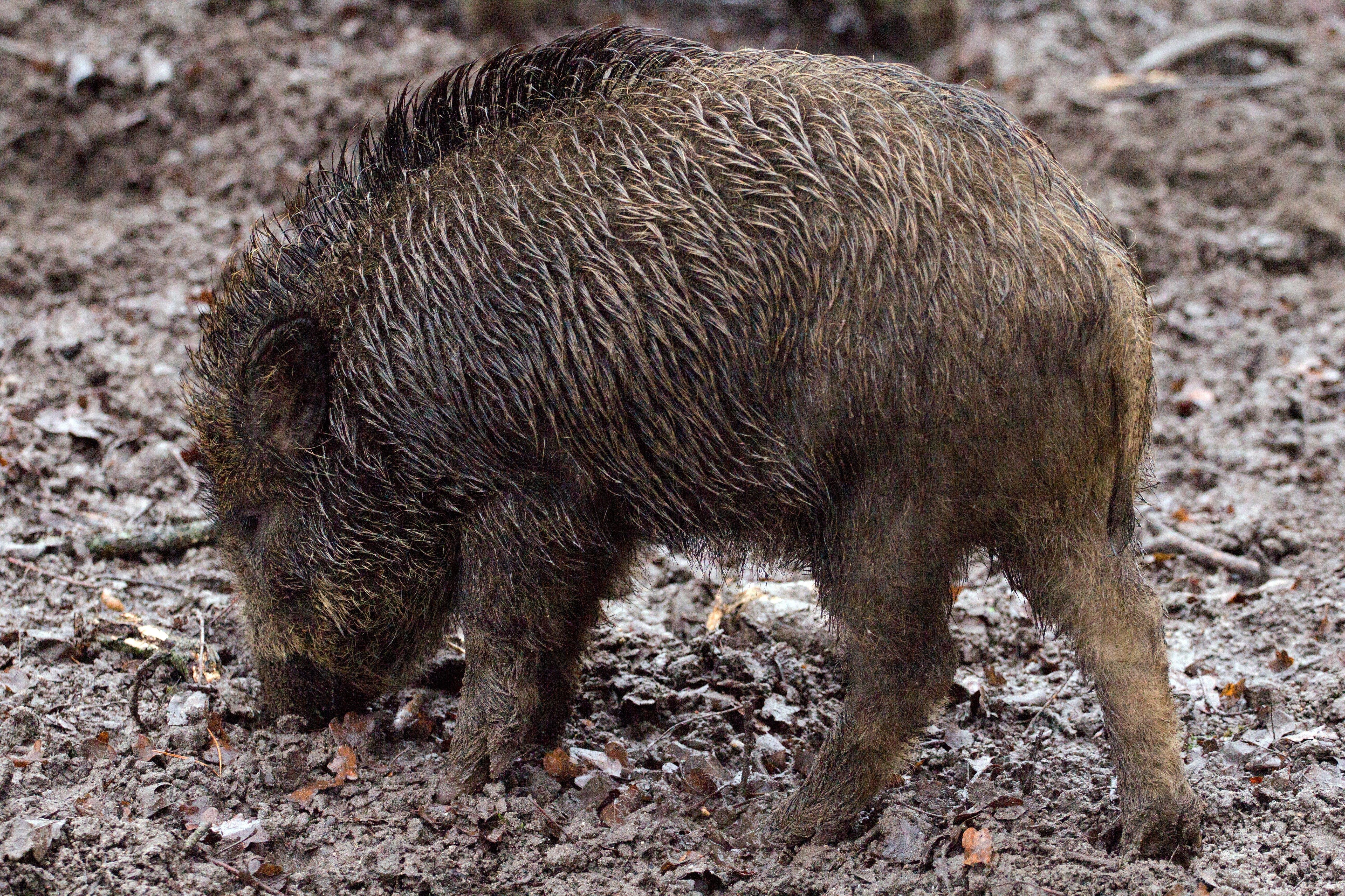 Brown Wild Boar on Dirt Ground at Daytime