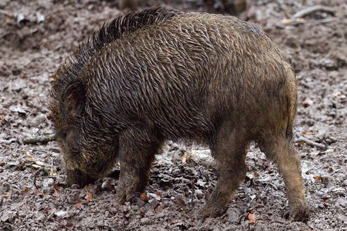 Brown Wild Boar on Dirt Ground at Daytime