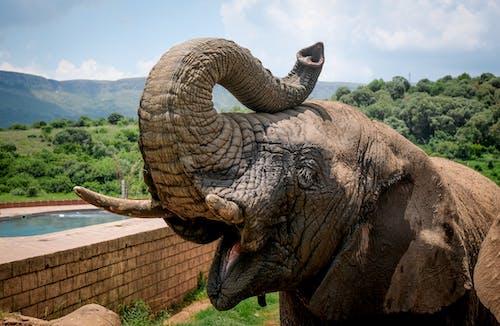 Gratis stockfoto met afrikaanse olifant, beest, dier