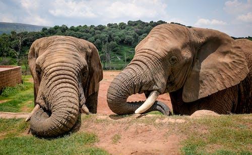 Foto stok gratis belalai gajah, besar, binatang berkulit tebal, fotografi binatang