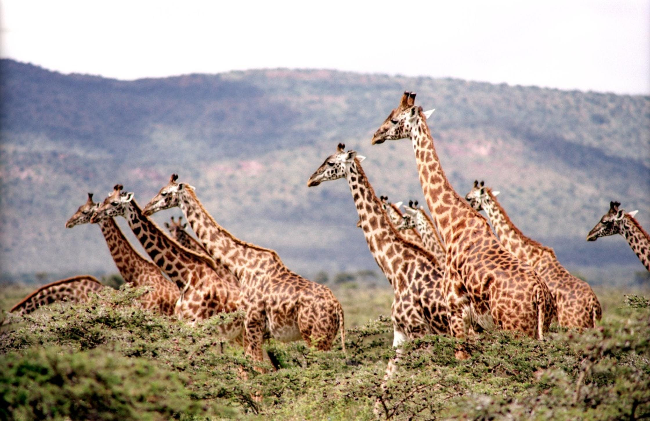 Gratis stockfoto met Afrika, beesten, dieren in het wild, giraffen