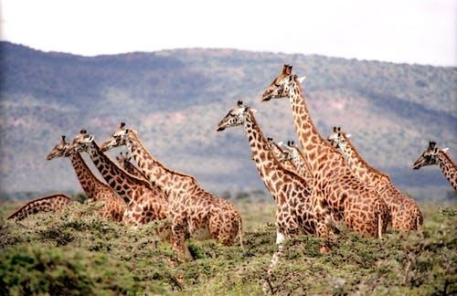Immagine gratuita di africa, animali, animali selvatici, fauna selvatica