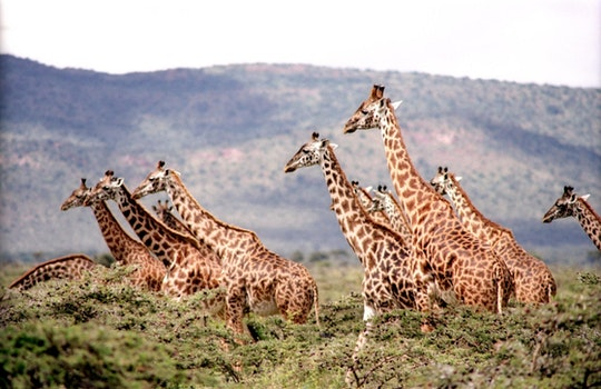 Group of Giraffe Surrounded by the Green Trees