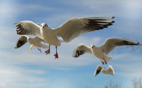 คลังภาพถ่ายฟรี ของ การบิน, ท้องฟ้า, นกนางนวล