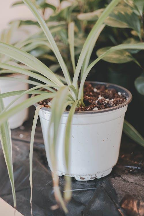 Ảnh lưu trữ miễn phí về cây cảnh, cây nhà, nồi, thực vật