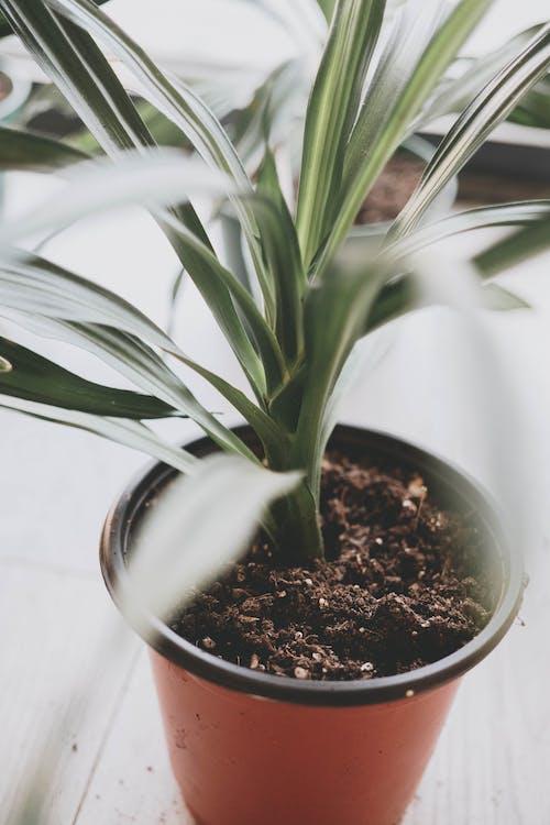 Foto stok gratis daun-daun hijau, pot, tanah, tanaman berpot