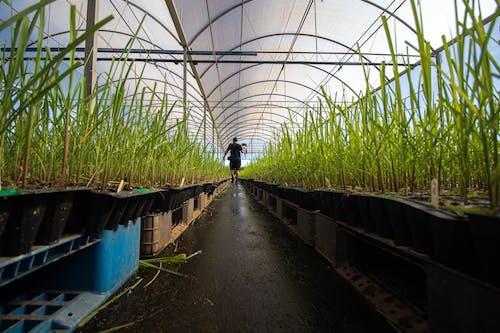 Person Walking on Pathway Between Green Plants Inside Greenhouse