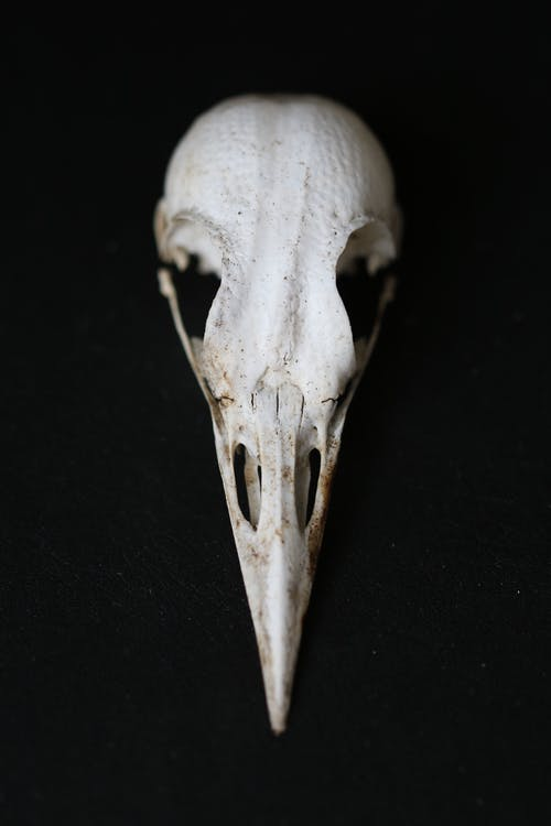 White Animal Skull On Black Surface