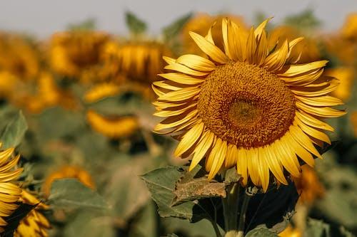 Fotos de stock gratuitas de agricultura, al aire libre, amarillo