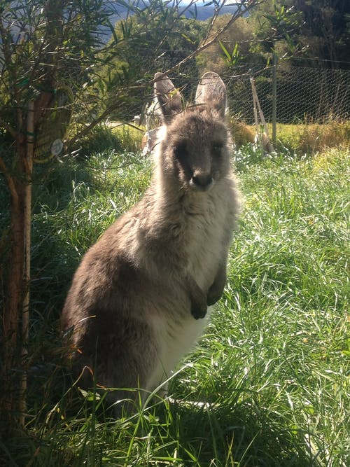 Free stock photo of baby Kangaroo, kangaroo, kangaroo joey