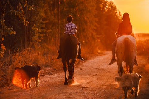 Back view of unrecognizable teen boy and girl riding horses in countryside together with dogs near green forest at sunset