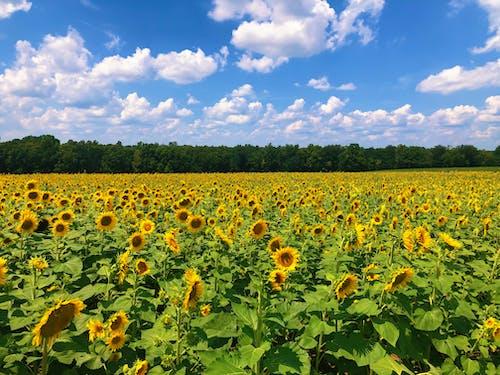 Yellow Flower Field Under Blue Sky