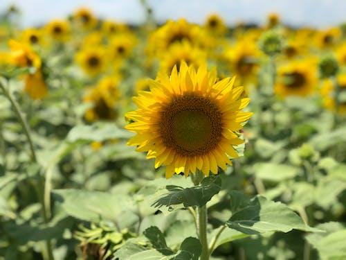 Yellow Sunflower in Bloom
