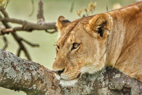 Lioness Lying on Tree Branch