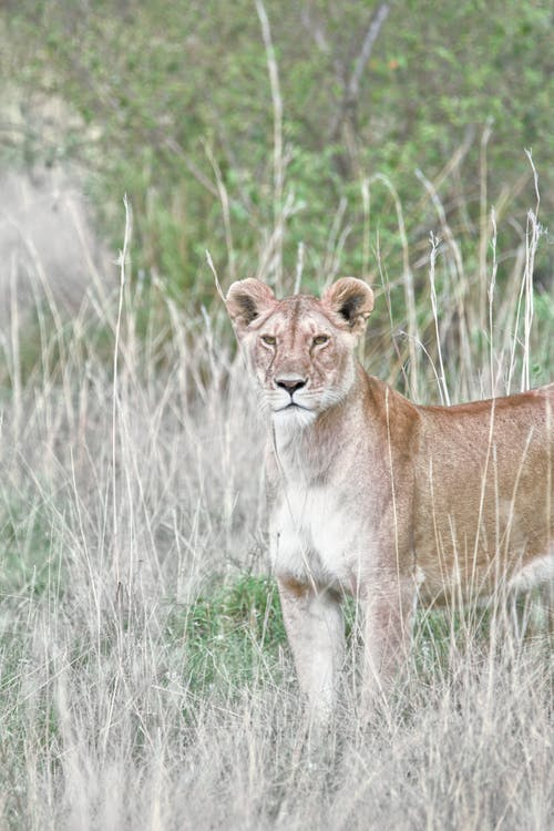 Lioness Standing on Grass Field