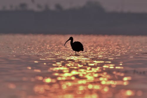 Silhouette of small ibis bird drinking water standing on wet shore of rippling lake reflecting colorful sunset sky