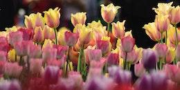 nature, garden, petals