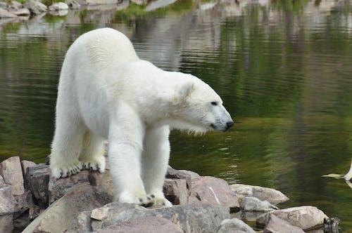 Free stock photo of animal, arctic, bear
