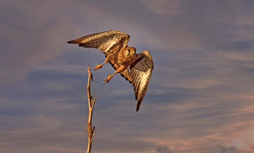Wild falcon flying under cloudy sunset sky