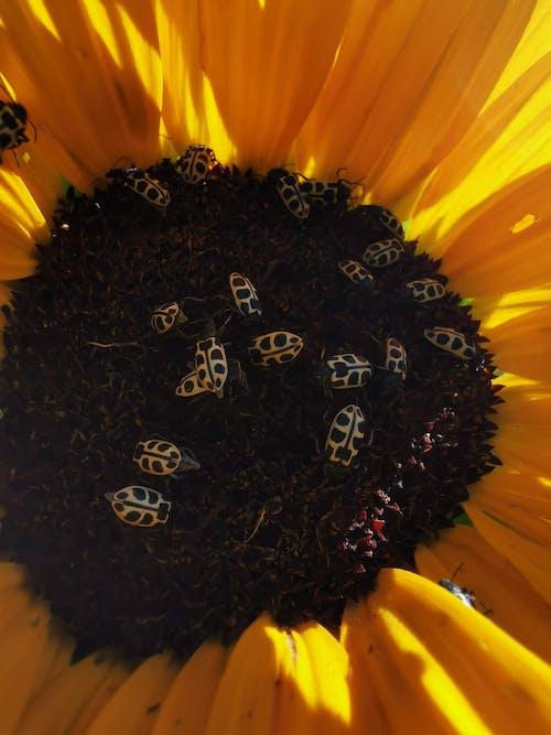 Free stock photo of bloom, ladybugs, sunflower