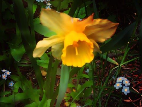Free stock photo of daffodils, yellow flower
