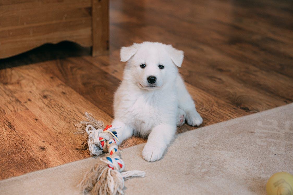 White Puppy on Brown Wooden Floor
