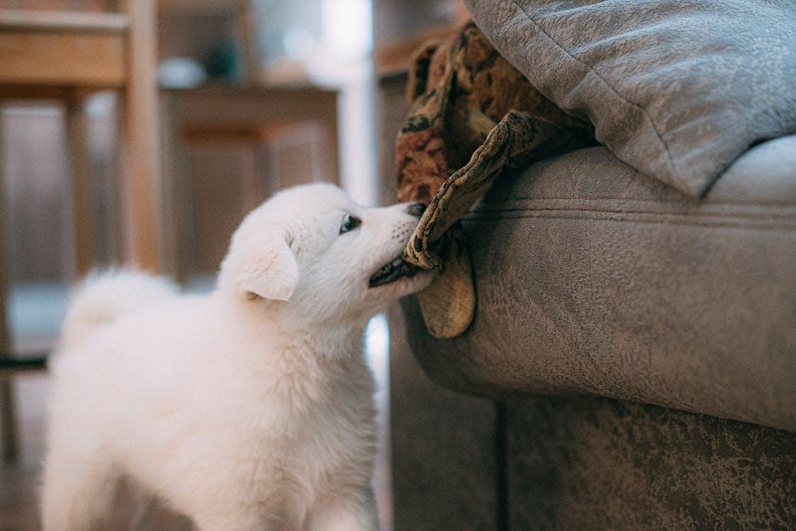 White Short Coated Dog on Gray Textile