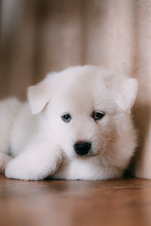 White Puppy on Brown Wooden Table