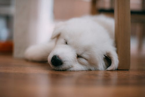 White Long Coated Puppy Lying on Brown Wooden Floor