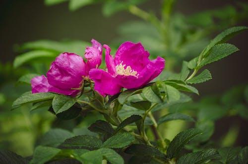 Ingyenes stockfotó lazac áfonya virágok, lila virágok, salmonberries témában
