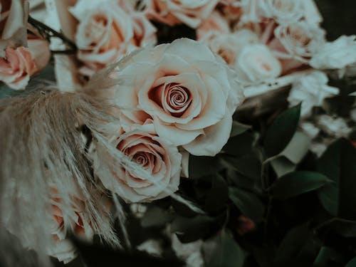 Fresh fragile pink roses in white box