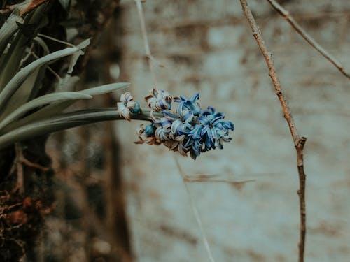 Kostenloses Stock Foto zu aromatisch, blau, blühen