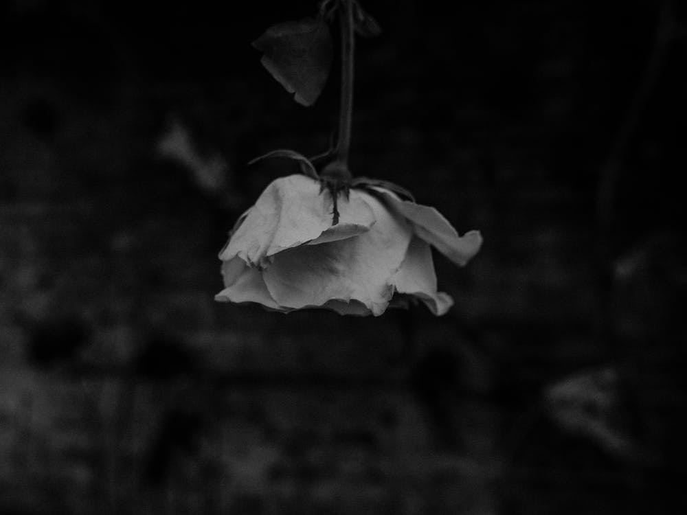 Free stock photo of close-up, flower, grayscale