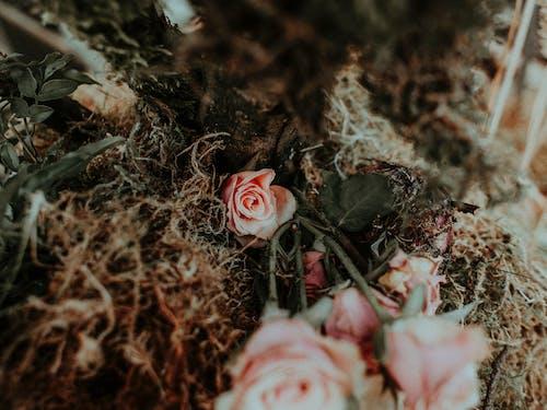 Délicates Roses Roses Sur Des Feuilles Brunes Séchées