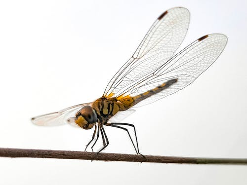 Yellow And Black Dragonfly On Brown Stick