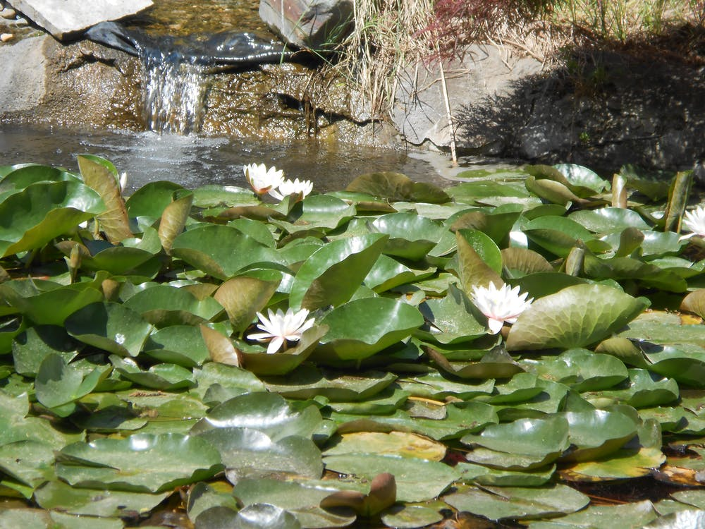 Free stock photo of pond, waterlily
