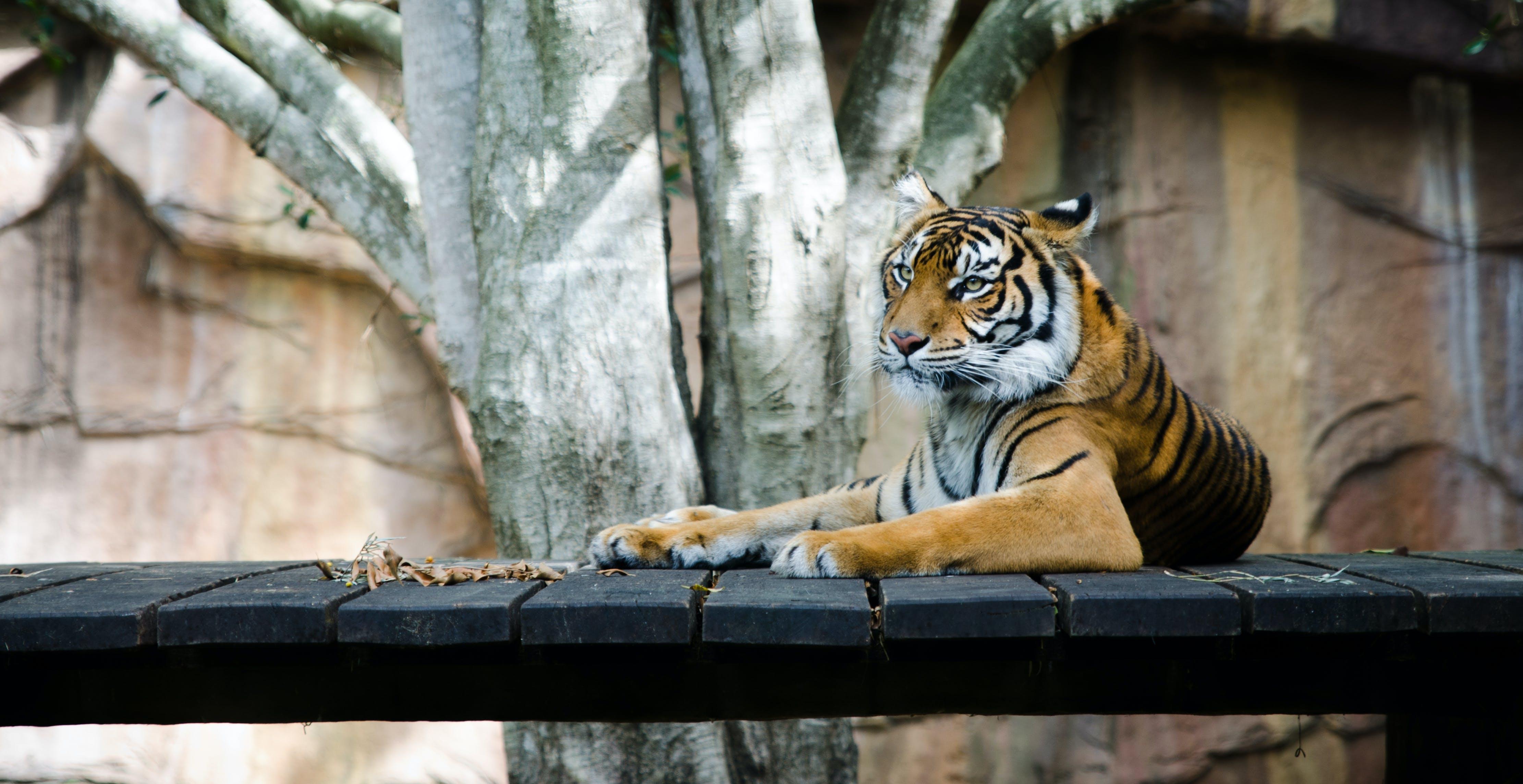 Orange Tiger Lying on Bridge