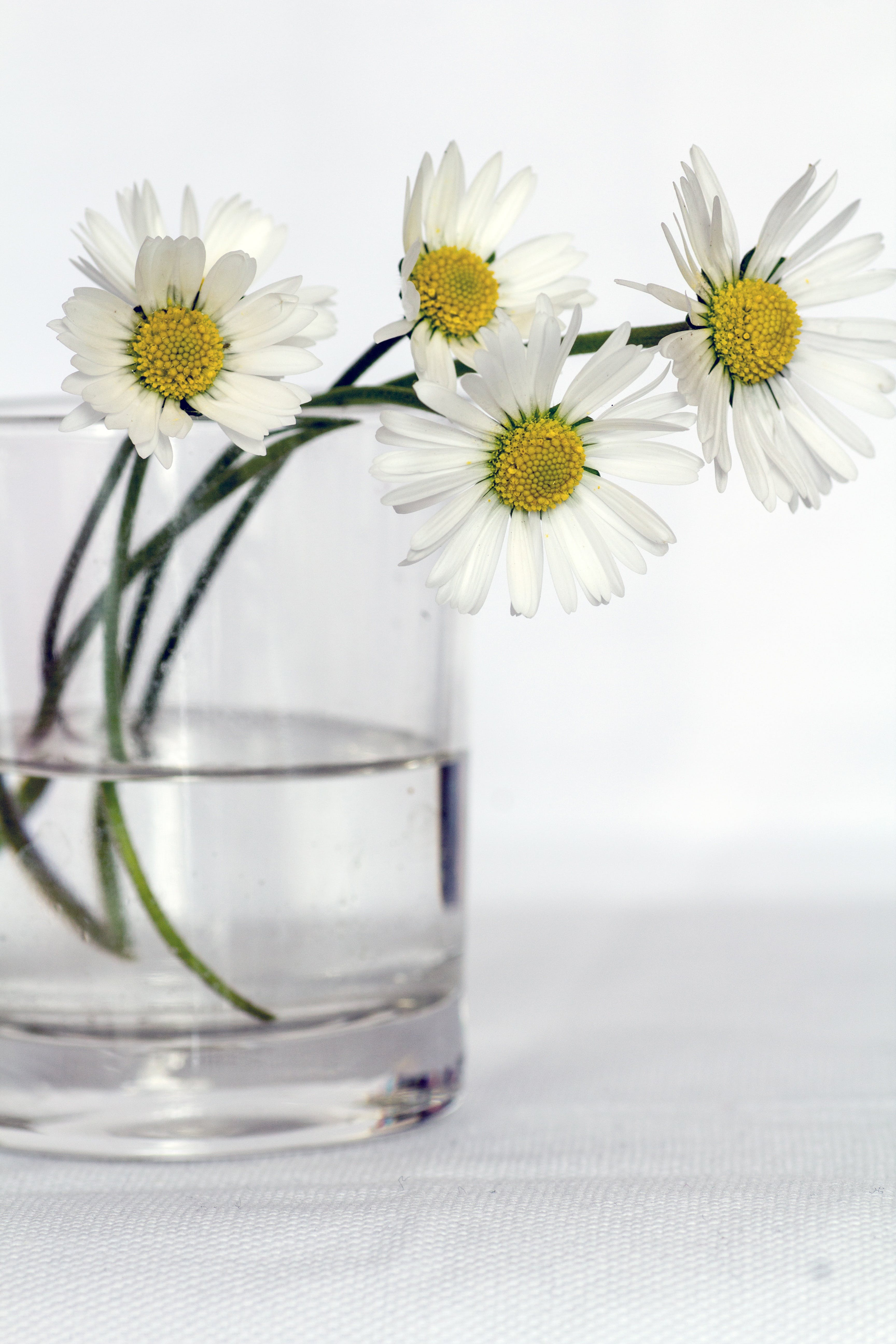 Four White Daisy Flowers in Clear Vase