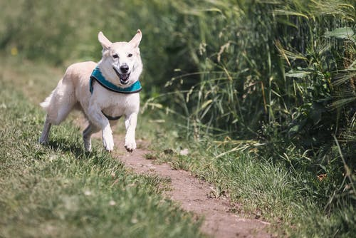 White Dog With Teal Collar Running Outside