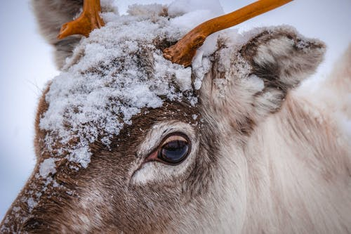 A Deer With  Snow On It's Head
