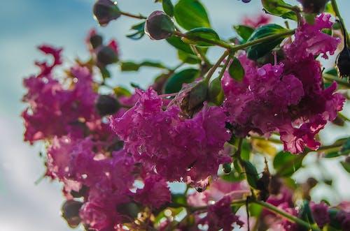 ピンク, ブーゲンビリア, 咲くの無料の写真素材