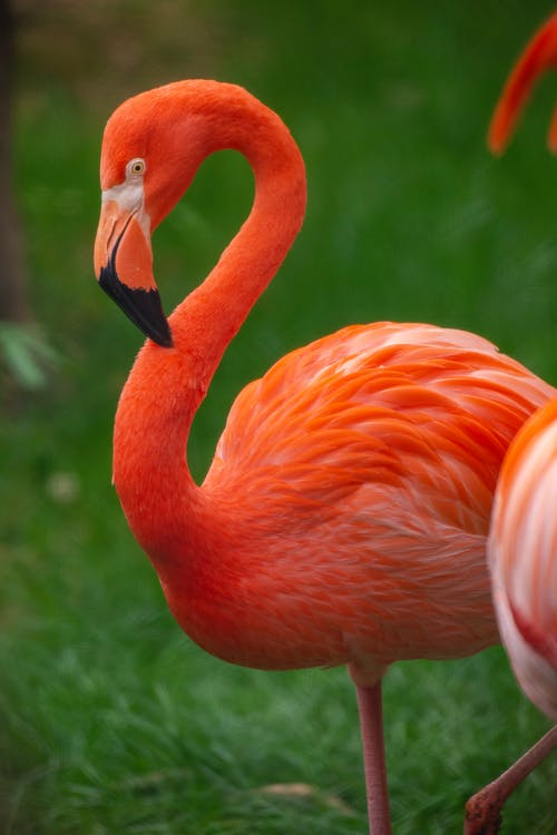 Side view of beautiful pink flamingo standing on green grass in tropical garden