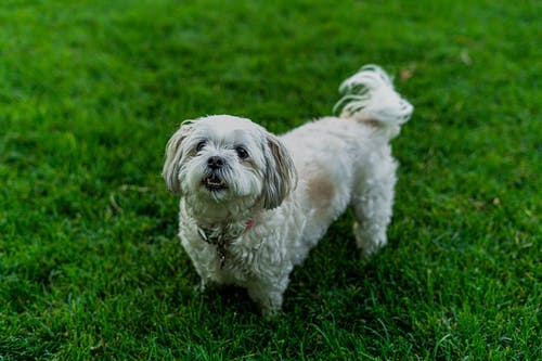 White Long Coat Small Dog On Green Grass Field
