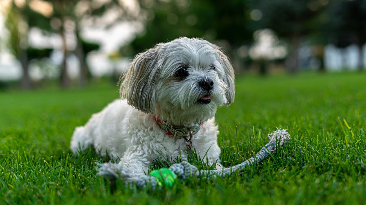 White Long Coat Small Dog on Green Grass