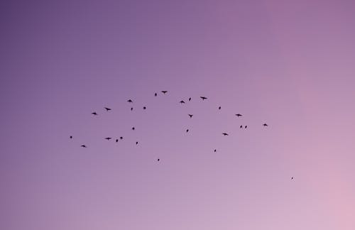 Free stock photo of flock of birds, pink sky, sunset