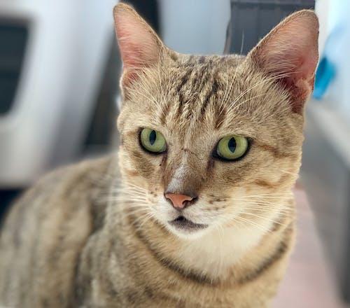寵物, 猫眼, 貓臉 的 免费素材图片