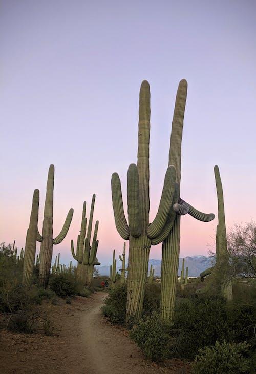Free stock photo of america, arizona, cactus, couple
