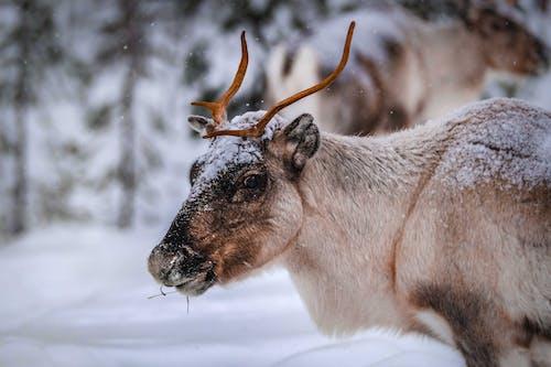 Renne De Manger Dans La Forêt D'hiver Pendant Les Chutes De Neige