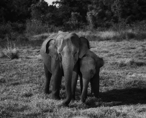Kostenloses Stock Foto zu asiatischer elefant