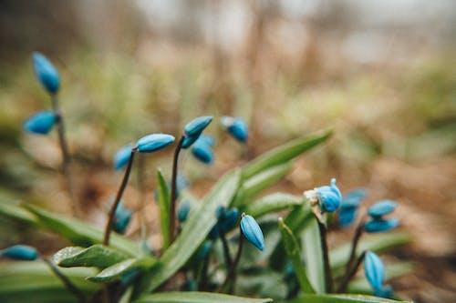 Gratis lagerfoto af blå, blå blomster, blomster, blomstrende